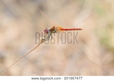 The red-veined darter or nomad Sympetrum fonscolombii is a dragonfly of the genus Sympetrum male.
