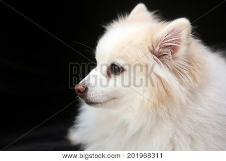 Pomerania Dog Portrait isolated on black.  Pomeranian Puppy on black. Room for your text.