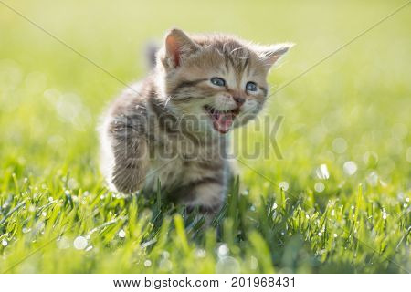Young funny cat meowing outdoor