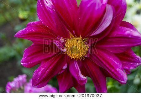 Feverfew flower, flower, garden, flowerbed, bud, plant.