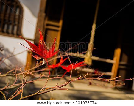 Close up of red leafs hanging fron a branch of a tree during autumn season in Kyoto, Japan.