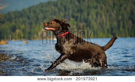 Chocolate Labrador Retriever dog running out of blue water
