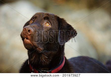 Chocolate Labrador Retriever dog head shot against rocks