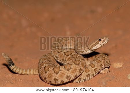This midget faded rattlesnake was photographed in southern Utah close to Arches National Park.