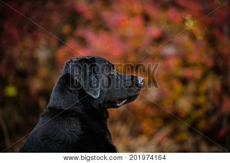 Chocolate Labrador Retriever dog in red leaves