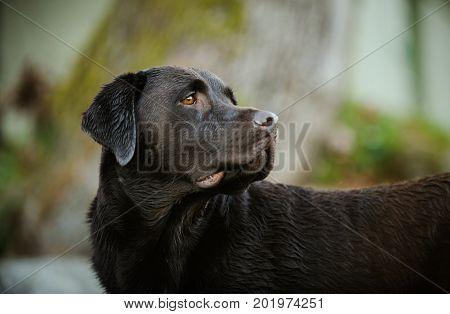 Chocolate Labrador Retriever dog portrait against natural background