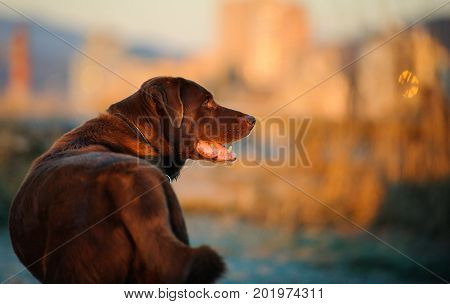 Chocolate Labrador Retriever dog with city in the background