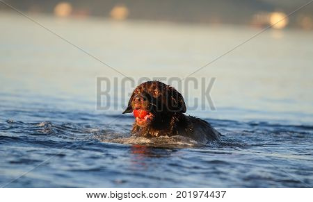 Chocolate Labrador Retriever dog swimming in water with ball