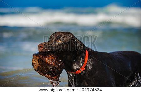 Chocolate Labrador Retriever dog by beach holding coconut