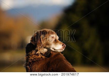 Senior Chocolate Labrador Retriever dog portrait against natural background