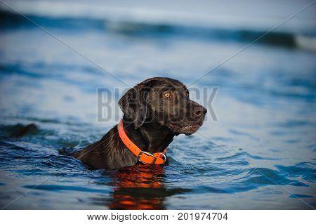 Chocolate Labrador Retriever dog in blue water