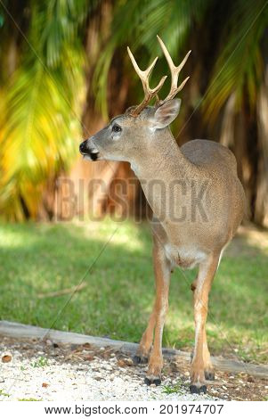 This an an adult male key deer they are much smaller than mainland white tail deer standing just a little higher than a medium to large dog.