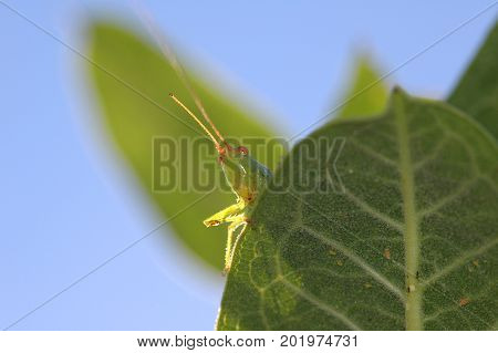 A green grass hopper looking over a green leaf with a blue sky background.