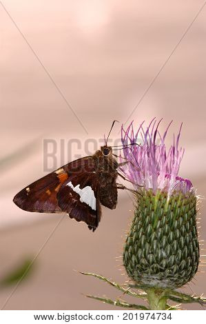 A common Missouri butterfly pollinating a cactus flower.