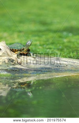 The red-eared slider is one of the most commonly seen turtles around lakes and ponds.