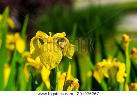 A yellow iris with water droplets in morning sunlight