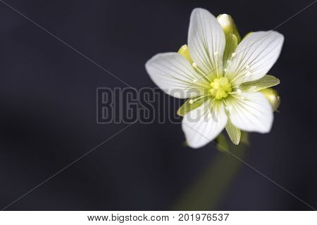 Venus Flytrap flower with soft white petals in full bloom