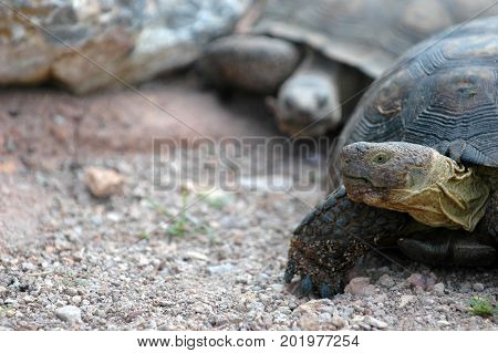 Two large tortoises walking in the desert one following the other.