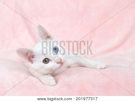 One cute white kitten with heterochromia or odd-eyed. one blue and one greenish brown. Laying on a textured pink blanket sideways looking at viewer.