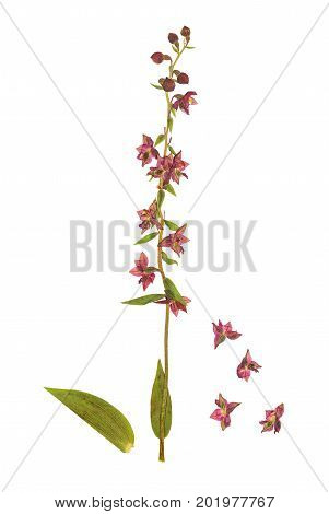Pressed and dried flowers epipactis helleborine isolated on white background. For use in scrapbooking floristry (oshibana) or herbarium.