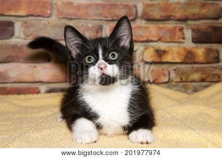 One small tuxedo black and white kitten laying on a yellow blanket in front of a brick wall looking up above viewer.
