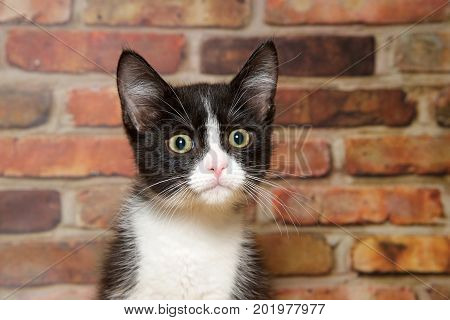 Portrait of one small tuxedo black and white kitten with wide eyes looking slightly to viewers right brick wall background