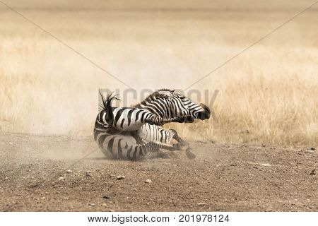 Adult Grevy's zebra rolling in the dust, Masai Mara, Kenya.