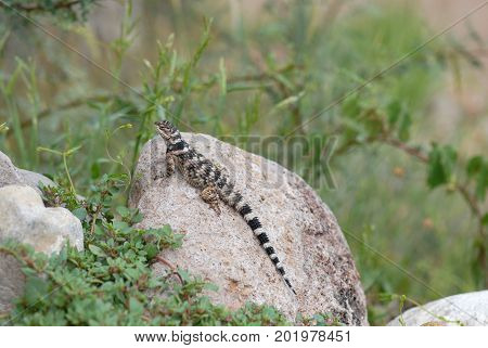 Spiny lizards are a common and colorful sight in the desert south west of the United States.