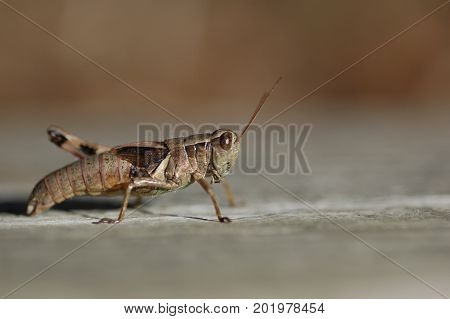 A common grasshopper with a blurred background.