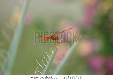 A red dragon fly landing on a prickly type of plant.