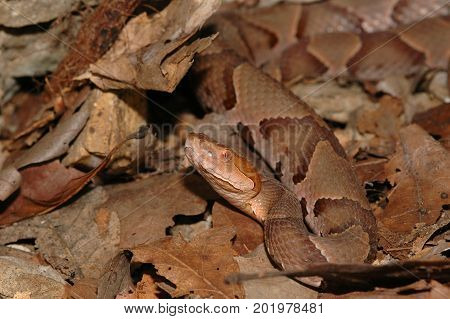 An osage copperhead can easily be hidden in a pile of autumn leaves.