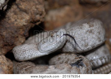 The New Mexico ridge-nosed rattle snake is a federally protected species in the United States.