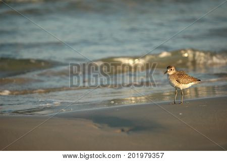A small shorebird on the beach in southern Texas.