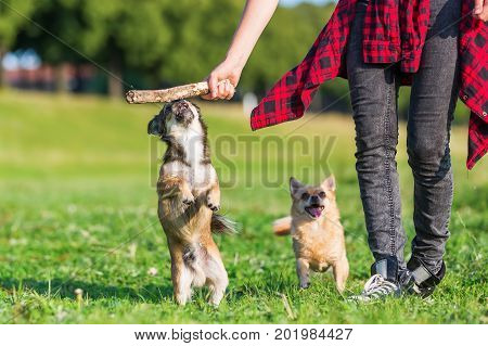 Young Woman Plays With Two Small Dogs Outdoors