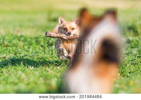 Chihuahua Runs With A Stick With A Small Blurred Dog In The Foreground