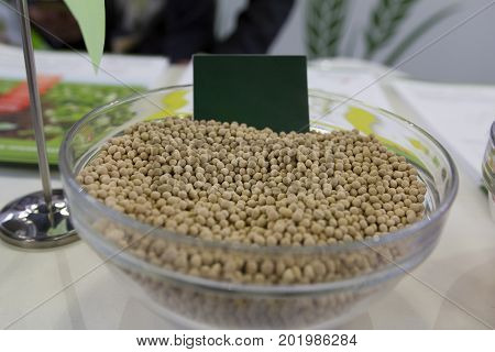 Genetically modified millet in the glass saucer agricultural concept, close up