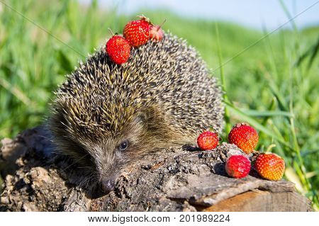 Young Prickly Hedgehog With Strawberries On The Log
