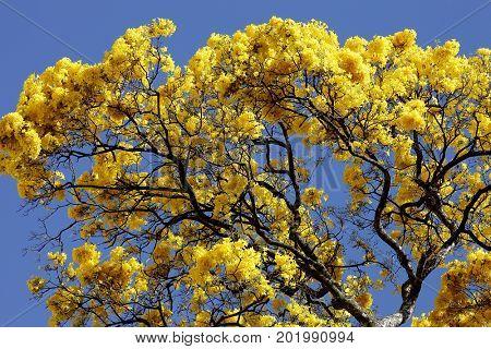 Yellow Ipê