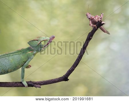 chameleon hunting an insect. Green background wildlife