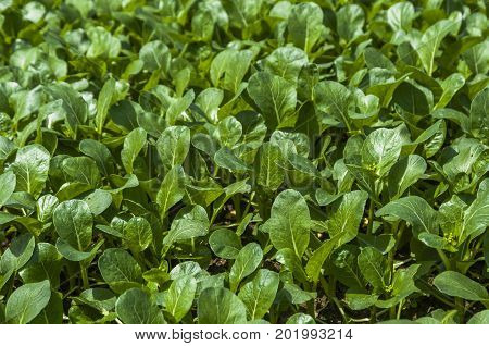 The chinese cabbage vegetable closeup in the field
