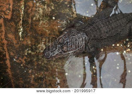 Nile crocodile (Crocodylus niloticus). Wild life animal.