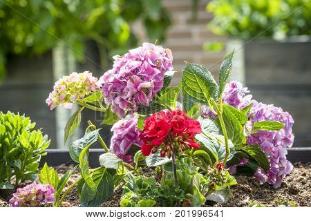Red and violet flowers in a flowerbed in a garden at summertime