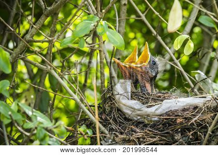 Two hatched blackbirds in a birds nest made of twigs and plastic in a hedge
