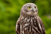 The Barking Owl has incredible eyesight and uses it predominantly for hunting. poster