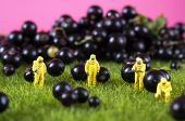 Four toy people in hazmat suits are checking black currant. GMO, chemical or radioactive polluted food concept. poster