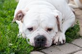 white American Bulldog in the yard of the house. The American bulldog is a stocky, well built, strong-looking dog, with a large head and a muscular build. poster