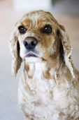 beautiful dog cocker spaniel poster