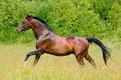 the bay trakehner stallion galloping poster