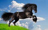friesian stallion gallop in summer poster