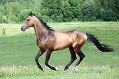 Buckskin Akhal-Teke stallion galloping in field. poster